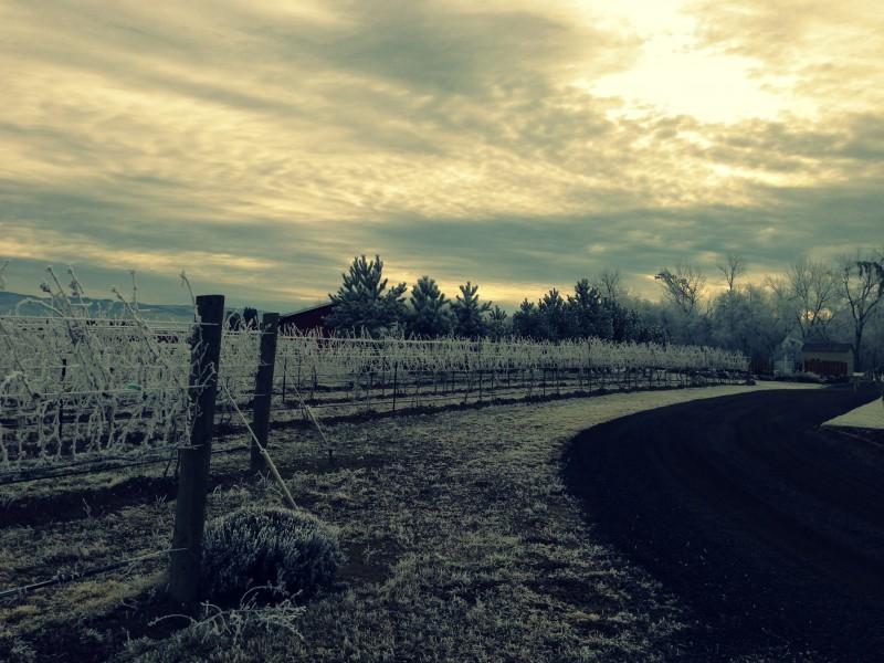 frosty vines